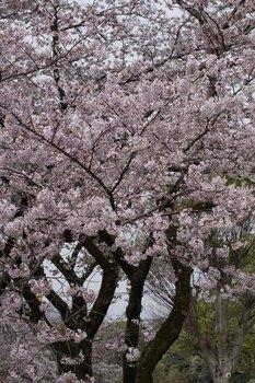 10日桜.jpg