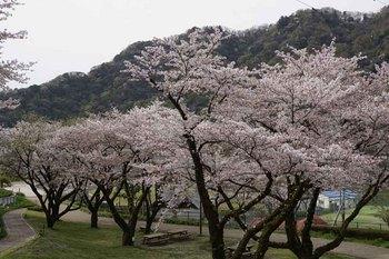 10日桜2.jpg