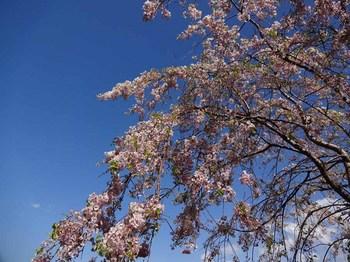 8日桜.jpg