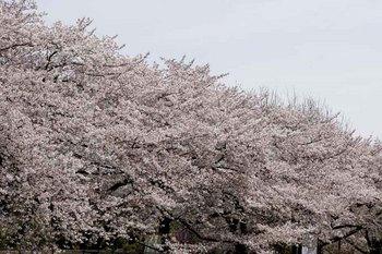 9日桜.jpg