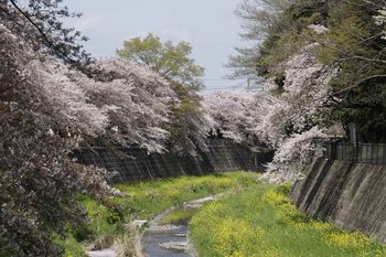 9日桜3.jpg