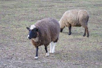 モヒカン羊.jpg