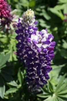 ルピナス紫.jpg