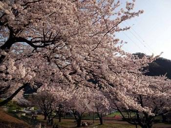 夕桜1.jpg