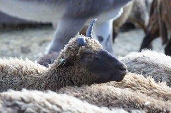 山羊.jpg