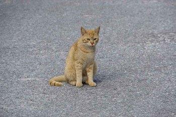 座間味猫.jpg