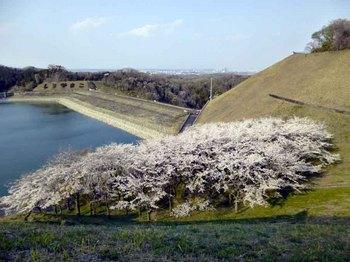 城山桜.jpg