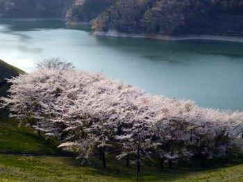 城山桜2.jpg