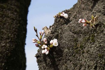 木から桜.jpg