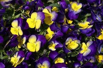 黄紫パンジー.jpg